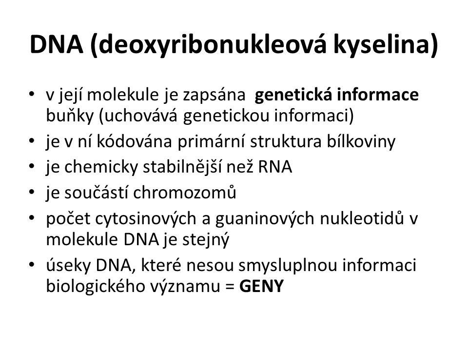 DNA (deoxyribonukleová kyselina) v její molekule je zapsána genetická informace buňky (uchovává genetickou informaci) je v ní kódována primární strukt