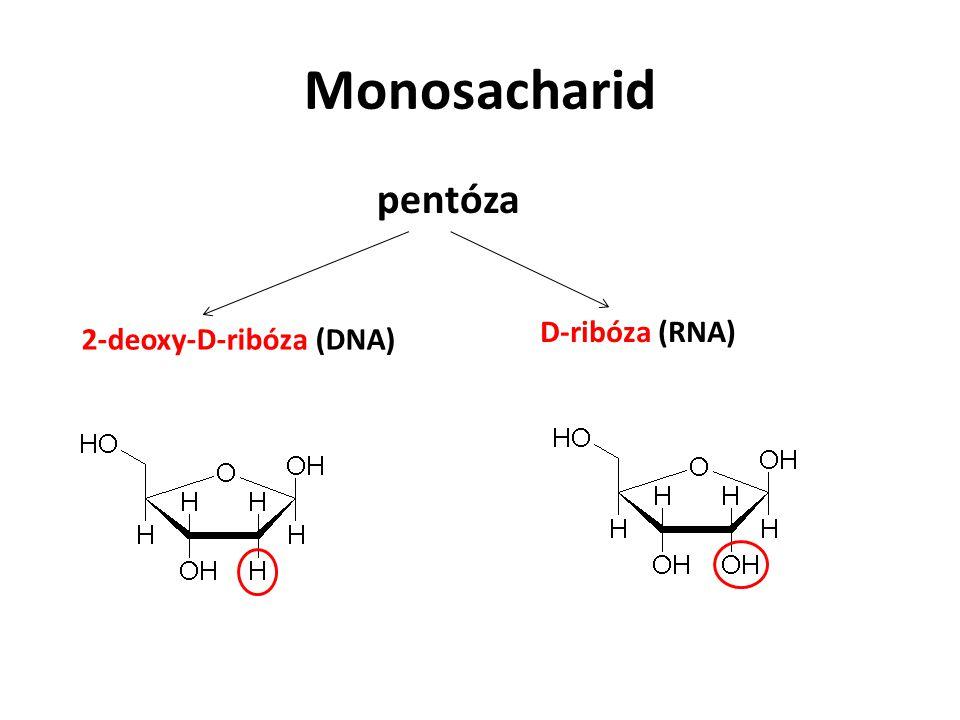 Monosacharid pentóza 2-deoxy-D-ribóza (DNA) D-ribóza (RNA)