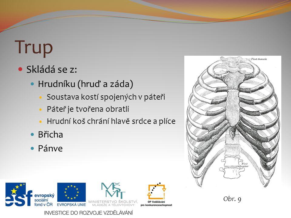 Trup Skládá se z: Hrudníku (hruď a záda) Soustava kostí spojených v páteři Páteř je tvořena obratli Hrudní koš chrání hlavě srdce a plíce Břicha Pánve