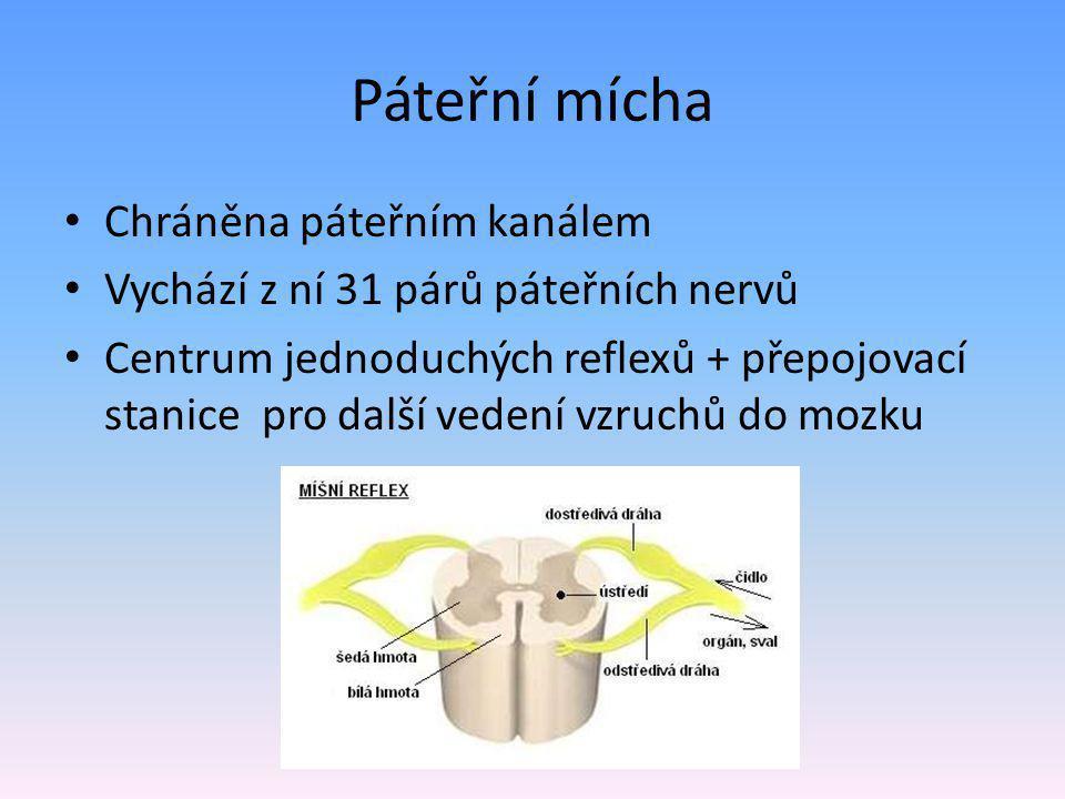Páteřní mícha Chráněna páteřním kanálem Vychází z ní 31 párů páteřních nervů Centrum jednoduchých reflexů + přepojovací stanice pro další vedení vzruc
