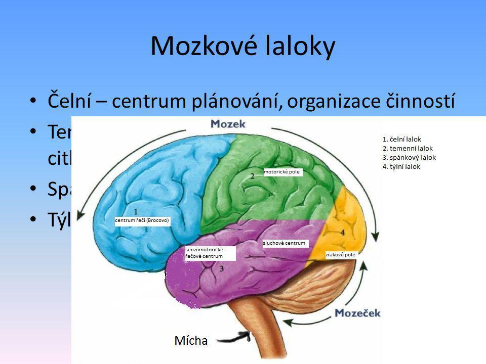 Mozkové laloky Čelní – centrum plánování, organizace činností Temenní – pohybové centrum, centrum citlivosti Spánkový – centrum sluchu, řečové centrum Týlní – centrum zraku