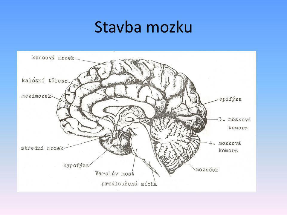 Stavba mozku