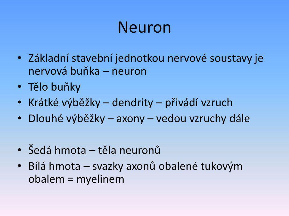 Neuron Základní stavební jednotkou nervové soustavy je nervová buňka – neuron Tělo buňky Krátké výběžky – dendrity – přivádí vzruch Dlouhé výběžky – axony – vedou vzruchy dále Šedá hmota – těla neuronů Bílá hmota – svazky axonů obalené tukovým obalem = myelinem