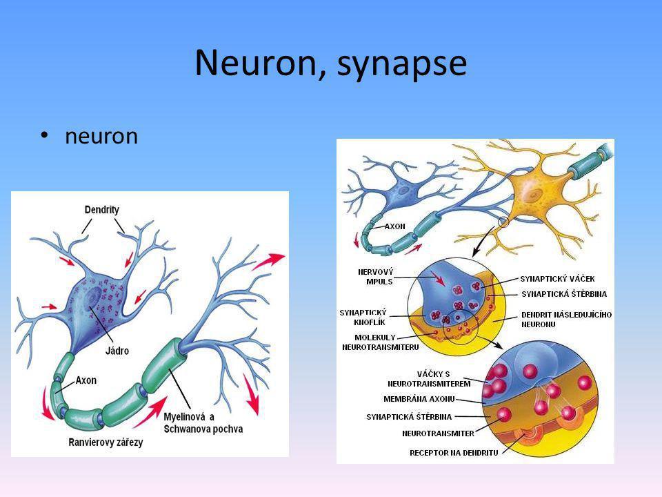 Podpůrné buňky – glie – pro výživu a oporu nervových buněk Astroglie, mikroglie,...