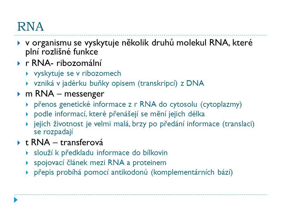 RNA  v organismu se vyskytuje několik druhů molekul RNA, které plní rozlišné funkce  r RNA- ribozomální  vyskytuje se v ribozomech  vzniká v jadérku buňky opisem (transkripcí) z DNA  m RNA – messenger  přenos genetické informace z r RNA do cytosolu (cytoplazmy)  podle informací, které přenášejí se mění jejich délka  jejich životnost je velmi malá, brzy po předání informace (translaci) se rozpadají  t RNA – transferová  slouží k předkladu informace do bílkovin  spojovací článek mezi RNA a proteinem  přepis probíhá pomocí antikodonů (komplementárních bází)