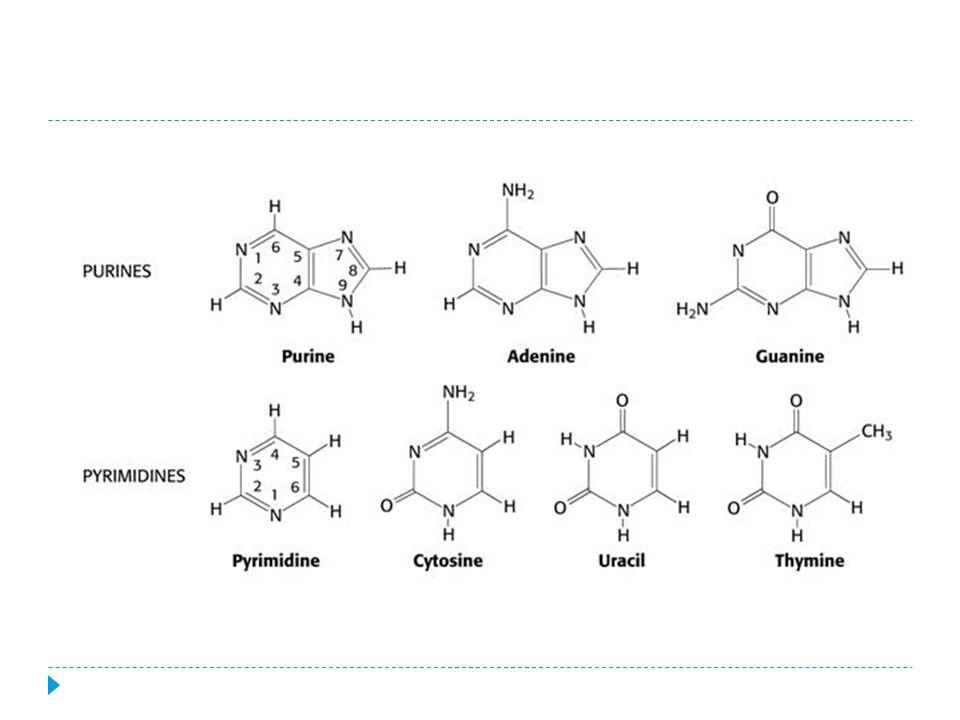 DNA  slouží k přenosu genetické informace a informace o tom, jak mají být v organismu vytvářeny bílkoviny  tvořena ze dvou řetězců, které jsou šroubovitě stočeny  pravotočivá šroubovice  řetězce jsou spojeny vodíkovými můstky, které vznikají mezi dvojicí bází  komplementární báze (báze, které se vzájemně doplňují)  AT(2 vodíkové můstky)  CG(3 vodíkové můstky)