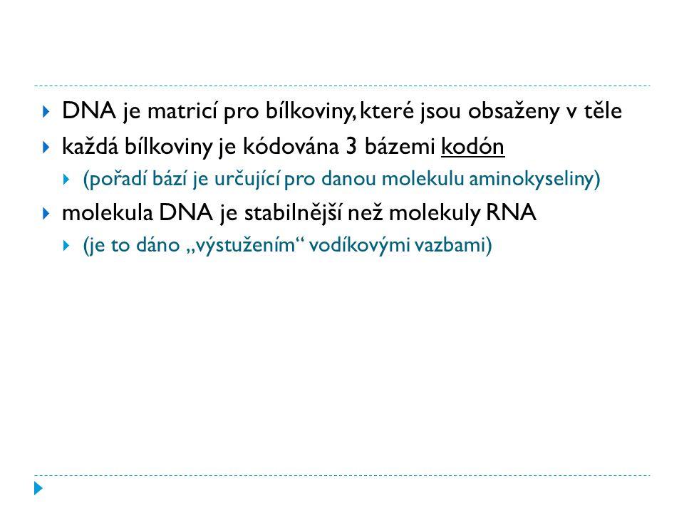 """ DNA je matricí pro bílkoviny, které jsou obsaženy v těle  každá bílkoviny je kódována 3 bázemi kodón  (pořadí bází je určující pro danou molekulu aminokyseliny)  molekula DNA je stabilnější než molekuly RNA  (je to dáno """"výstužením vodíkovými vazbami)"""