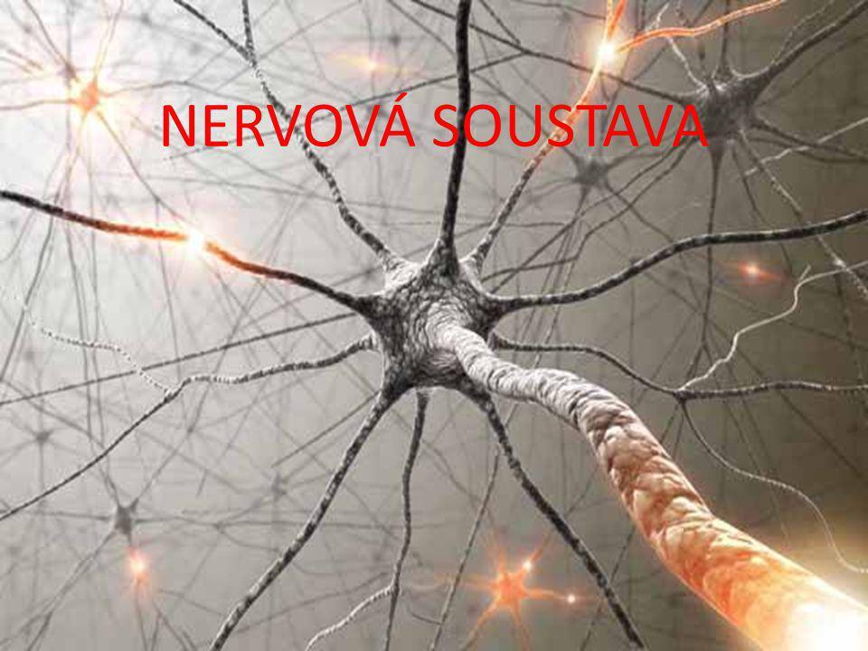 MOZEK  uložen v lebce, chráněn třemi obaly a mozkomíšním mokem  hmotnost kolem 1 500 g  do 20 let zmnožování propojení neuronů, nikoli počet  rychlost přenosu vzruchu až 130 m/s kůže kost 3 mozkové pleny