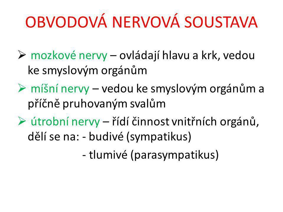 OBVODOVÁ NERVOVÁ SOUSTAVA  mozkové nervy – ovládají hlavu a krk, vedou ke smyslovým orgánům  míšní nervy – vedou ke smyslovým orgánům a příčně pruhovaným svalům  útrobní nervy – řídí činnost vnitřních orgánů, dělí se na: - budivé (sympatikus) - tlumivé (parasympatikus)