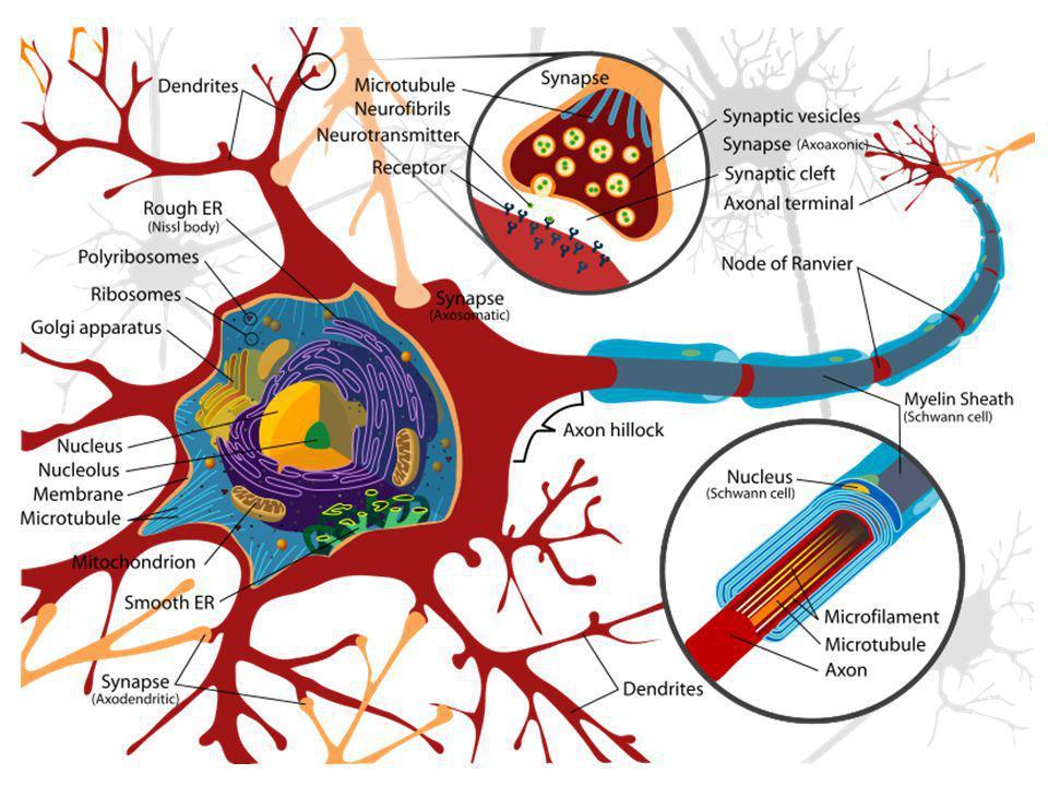 REFLEX - základní jednotka nervové činnosti Reflex – odpověď organismu na podnět (podráždění) z vnějšího nebo vnitřního prostředí.