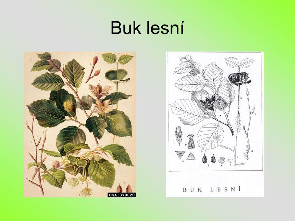 Listy buku lesního