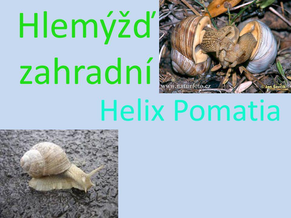 Hlemýžď zahradní Helix Pomatia