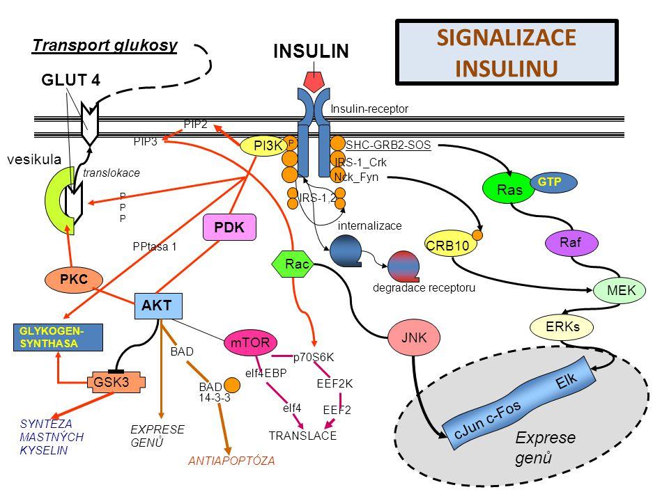 PPPPPP P PI3K PIP2 INSULIN Insulin-receptor PDK AKT PKC GLUT 4 translokace Transport glukosy vesikula GSK3 GLYKOGEN- SYNTHASA SYNTÉZA MASTNÝCH KYSELIN EXPRESE GENŮ ANTIAPOPTÓZA BAD 14-3-3 mTOR elf4EBP elf4 TRANSLACE p70S6K EEF2K EEF2 Rac IRS-1_Crk IRS-1,2 cJun c-Fos Elk Exprese genů SHC-GRB2-SOS Nck_Fyn Ras GTP Raf MEK ERKs JNK CRB10 PPtasa 1 PIP3 internalizace degradace receptoru SIGNALIZACE INSULINU