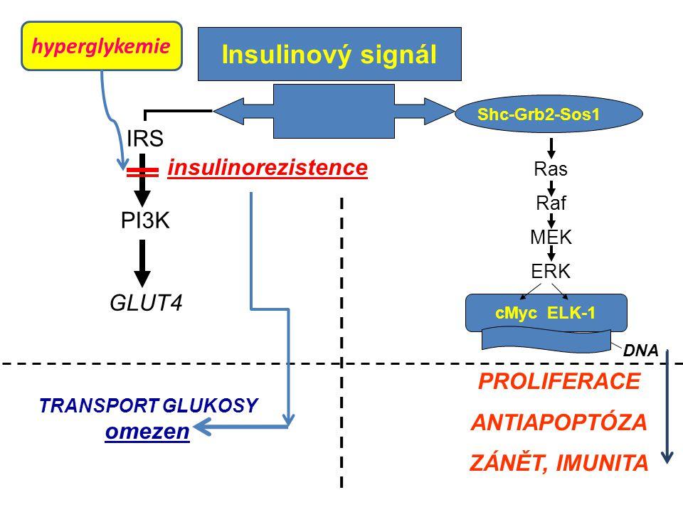 Insulinový signál IRS PI3K GLUT4 Shc-Grb2-Sos1 Ras Raf MEK ERK cMyc ELK-1 DNA TRANSPORT GLUKOSY omezen PROLIFERACE ANTIAPOPTÓZA ZÁNĚT, IMUNITA insulinorezistence hyperglykemie
