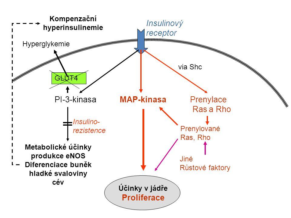 Kompenzační hyperinsulinemie Insulinový receptor PI-3-kinasa MAP-kinasa Prenylace Ras a Rho Metabolické účinky produkce eNOS Diferenciace buněk hladké svaloviny cév Jiné Růstové faktory via Shc Účinky v jádře Proliferace Prenylované Ras, Rho Insulino- rezistence GLUT4 Hyperglykemie