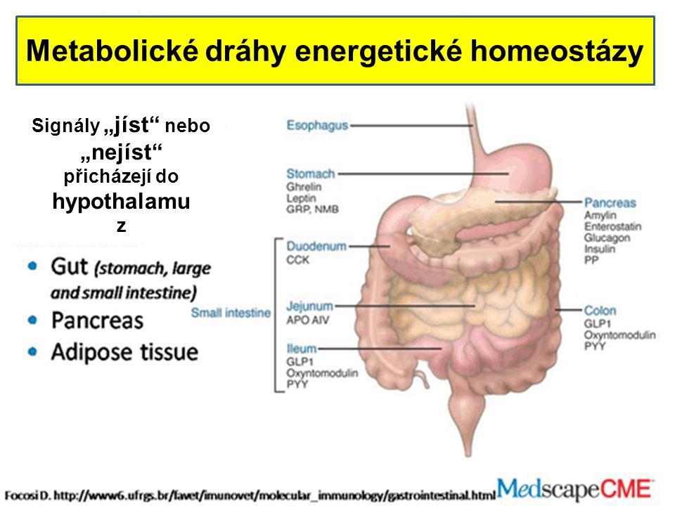 """Metabolické dráhy energetické homeostázy Signály """"jíst nebo """"nejíst přicházejí do hypothalamu z"""