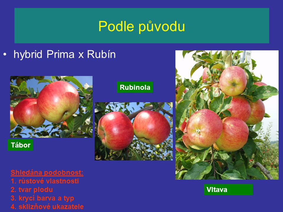 Podle původu hybrid Prima x Rubín Vltava Rubinola Shledána podobnost: 1. růstové vlastnosti 2. tvar plodu 3. krycí barva a typ 4. sklizňové ukazatele