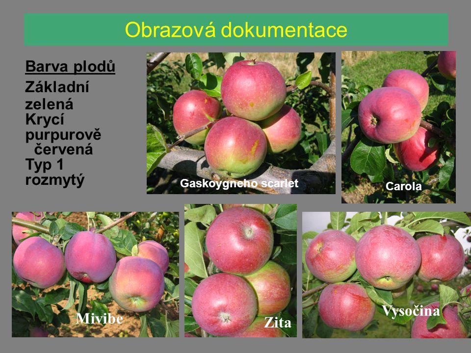 Obrazová dokumentace Carola Gaskoygneho scarlet Mivibe Vysočina Barva plodů Základní zelená Krycí purpurově červená Typ 1 rozmytý Zita