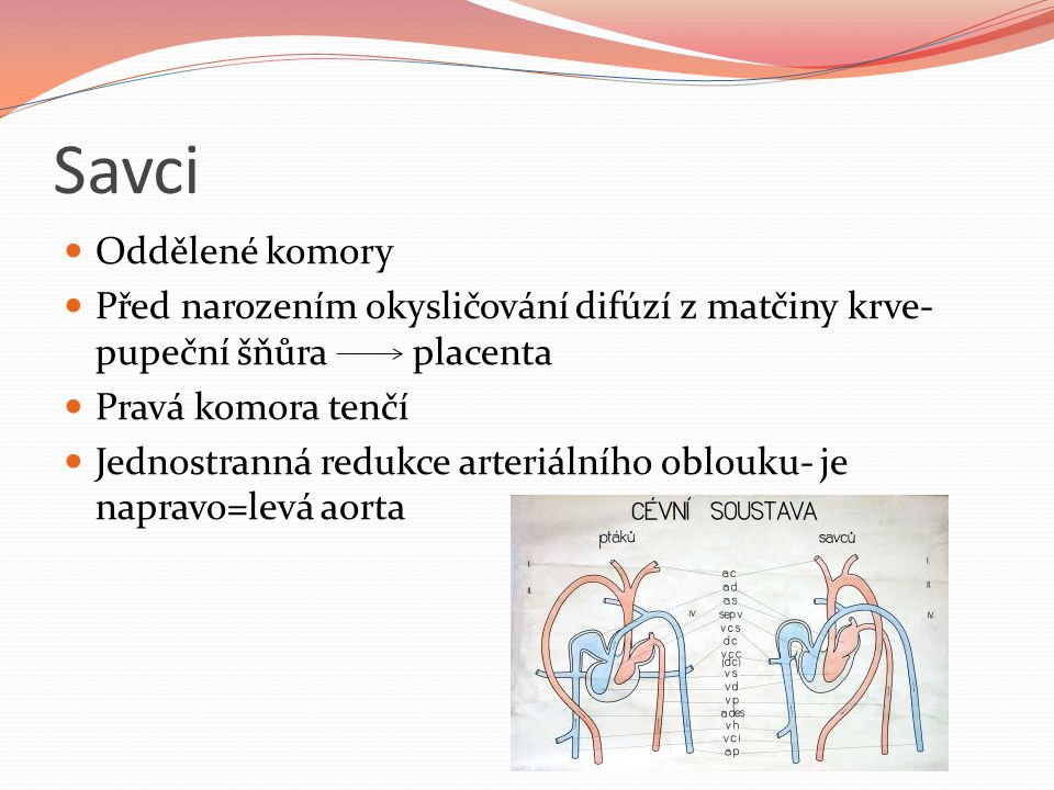Savci Oddělené komory Před narozením okysličování difúzí z matčiny krve- pupeční šňůra placenta Pravá komora tenčí Jednostranná redukce arteriálního oblouku- je napravo=levá aorta