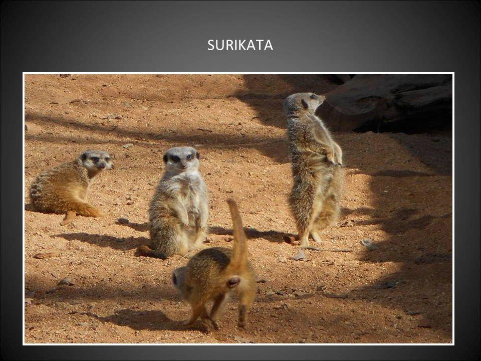 PEKARI – původ zvířat je z Jižní Ameriky