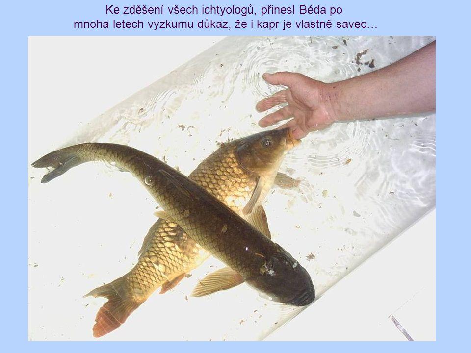 Ke zděšení všech ichtyologů, přinesl Béda po mnoha letech výzkumu důkaz, že i kapr je vlastně savec…