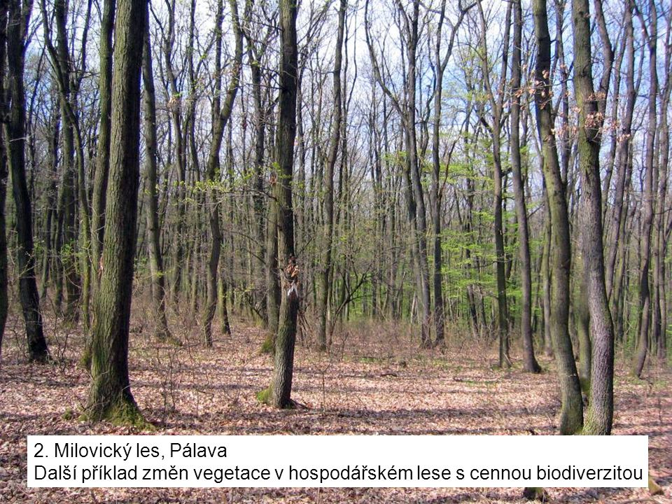 2. Milovický les, Pálava Další příklad změn vegetace v hospodářském lese s cennou biodiverzitou