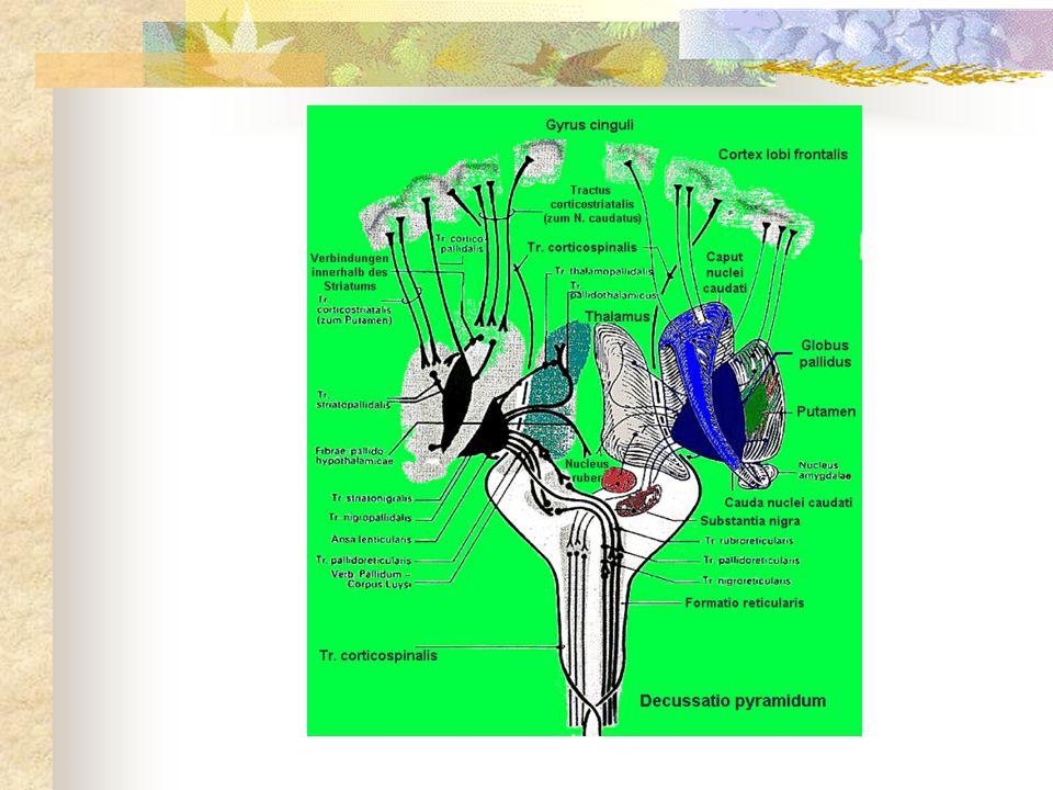 Poškození dalších částí obvodu apatie pokles motivace a schopnosti udržet aktivitu akinetický mutismus (při bilaterální těžké lézi): pacient leží s otevřenýma očima, sponátnně nemluví, odpovídá max.