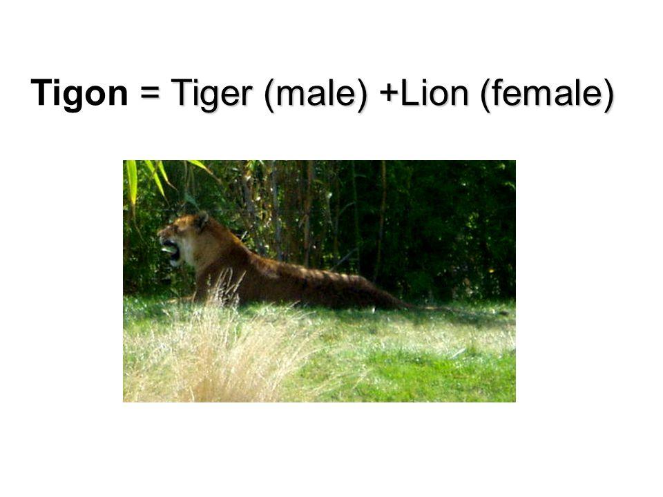 = Tiger (male) +Lion (female) Tigon = Tiger (male) +Lion (female)