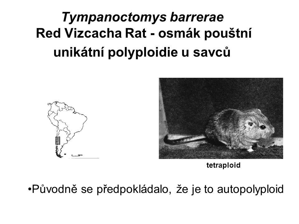 Tympanoctomys barrerae Red Vizcacha Rat - osmák pouštní unikátní polyploidie u savců tetraploid Původně se předpokládalo, že je to autopolyploid
