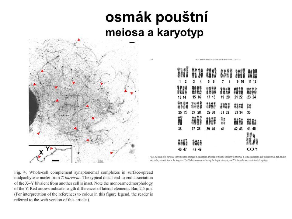 osmák pouštní meiosa a karyotyp