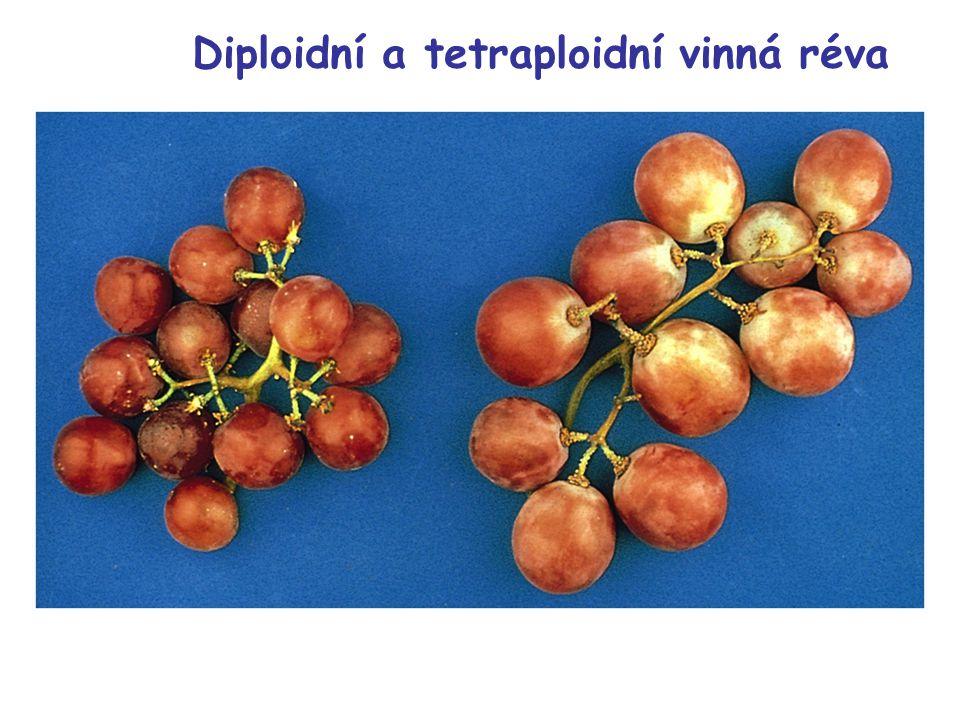 Diploidní a tetraploidní vinná réva
