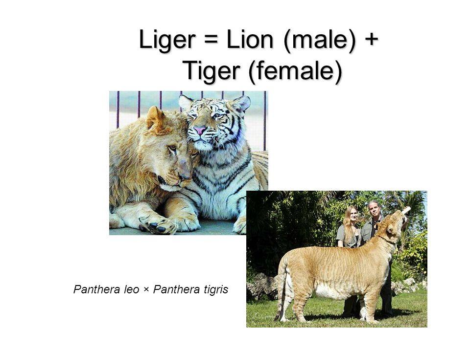 Liger = Lion (male) + Tiger (female) Panthera leo × Panthera tigris