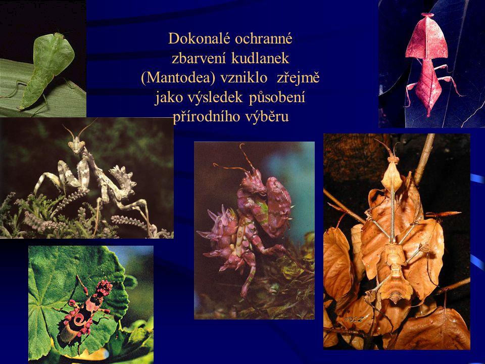 Dokonalé ochranné zbarvení kudlanek (Mantodea) vzniklo zřejmě jako výsledek působení přírodního výběru