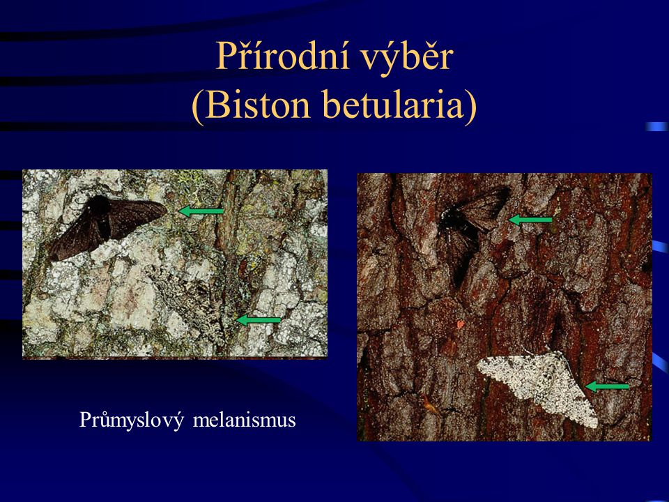 Přírodní výběr (Biston betularia) Průmyslový melanismus