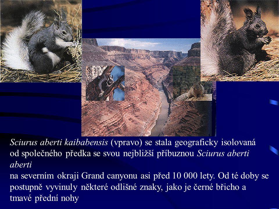 Sciurus aberti kaibabensis (vpravo) se stala geograficky isolovaná od společného předka se svou nejbližší příbuznou Sciurus aberti aberti na severním okraji Grand canyonu asi před 10 000 lety.