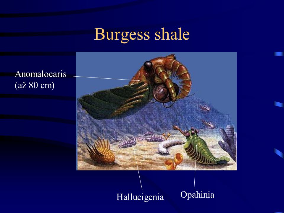 Burgess shale Anomalocaris (až 80 cm) Hallucigenia Opahinia