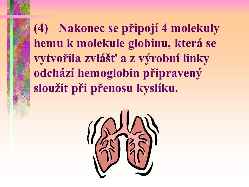 (4) Nakonec se připojí 4 molekuly hemu k molekule globinu, která se vytvořila zvlášť a z výrobní linky odchází hemoglobin připravený sloužit při přenosu kyslíku.