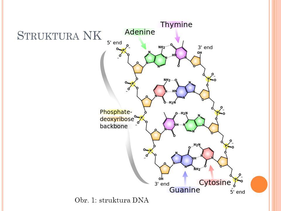 B IOSYNTÉZA NK Syntéza molekuly DNA – REPLIKACE Spojena s přenosem genetické informace (uchování dědičných vlastností organismů) Princip replikace : přerušení vodíkových můstků v dvoušroubovici rozpletení vláken každé z nich slouží jako matrice pro syntézu nového vlákna