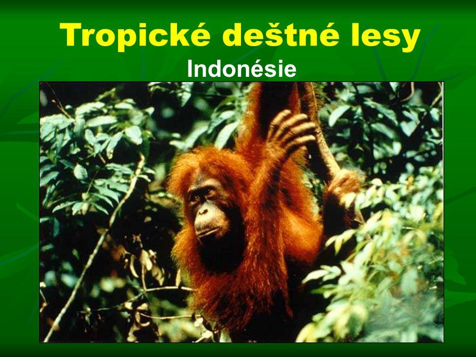 Indonésie Tropické deštné lesy