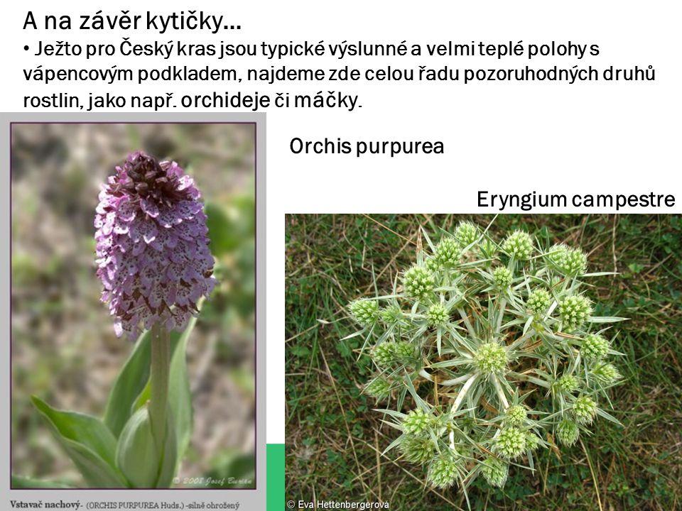 A na závěr kytičky… Ježto pro Český kras jsou typické výslunné a velmi teplé polohy s vápencovým podkladem, najdeme zde celou řadu pozoruhodných druhů rostlin, jako např.