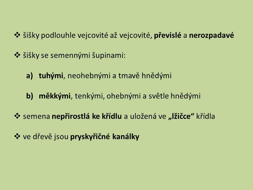 SMRK ZTEPILÝ PICEA ABIES Čeleď: borovicovité