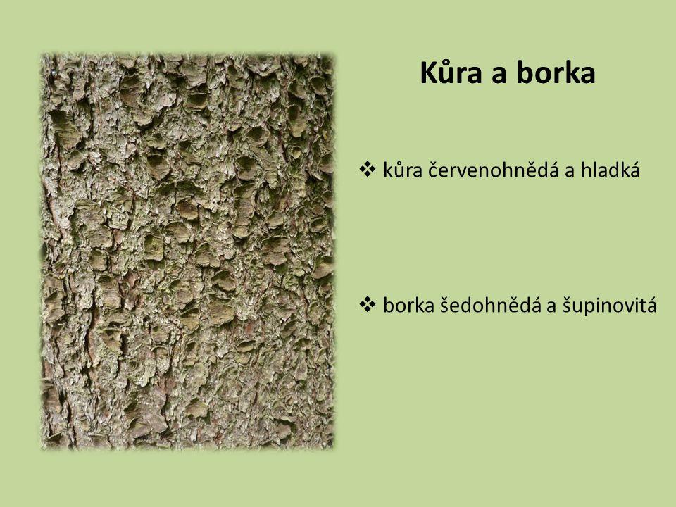 Habitus  strom 20–30 (–50) m vys.  průměr kmene 0,6 m  koruna úzce kuželovitá