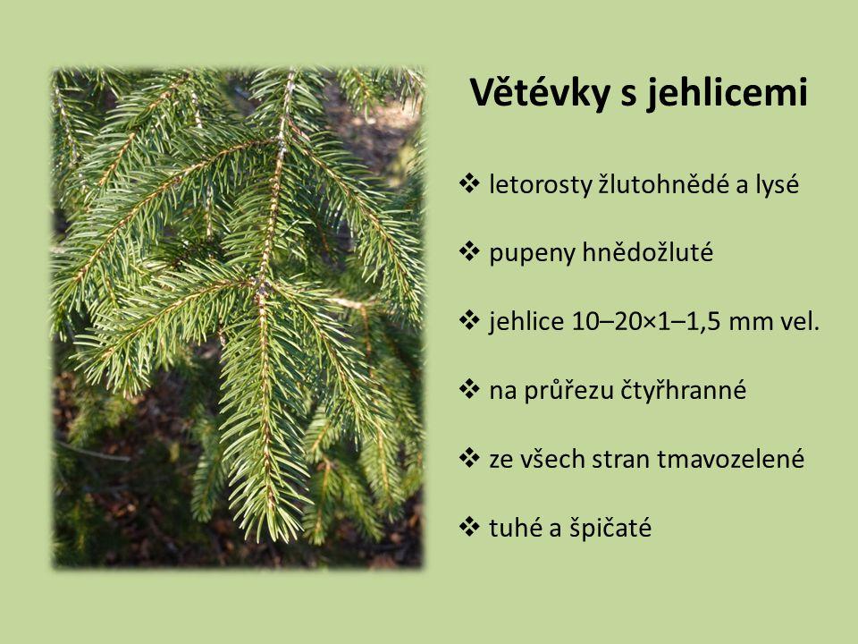 SMRK PICHLAVÝ PICEA PUNGENS Čeleď: borovicovité