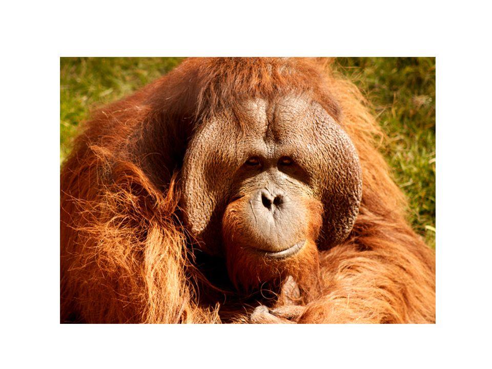 PRIMÁTI - LIDOOPI U orangutanů je velký rozdíl ve velikosti a hmotnosti (samec X samice).