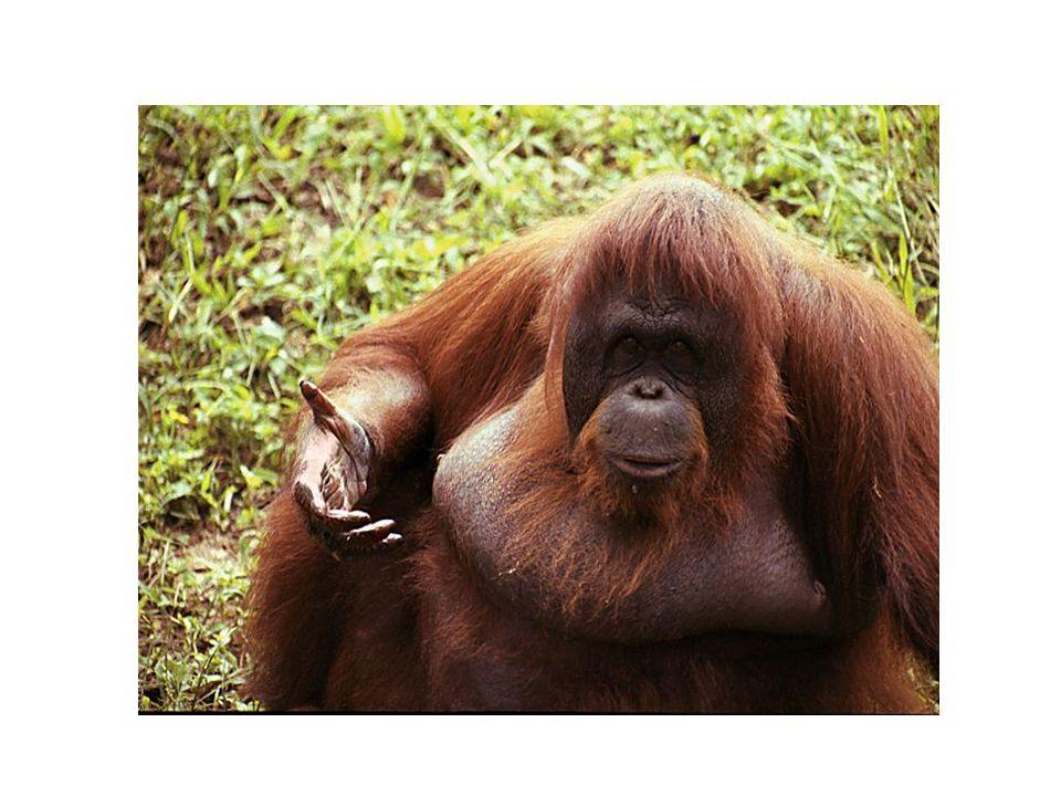 PRIMÁTI - LIDOOPI Gorily jsou blízce příbuzné člověku a jsou považovány za hodně inteligentní.