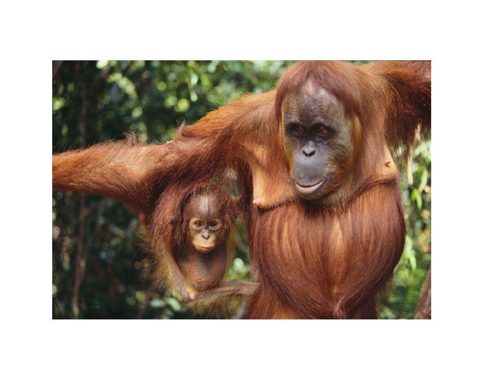 PRIMÁTI - LIDOOPI Orangutani jsou denní živočichové.