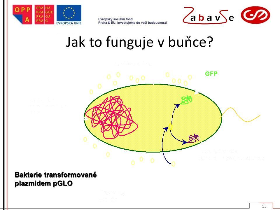 Jak to funguje v buňce? Bakterie transformované plazmidem pGLO 13