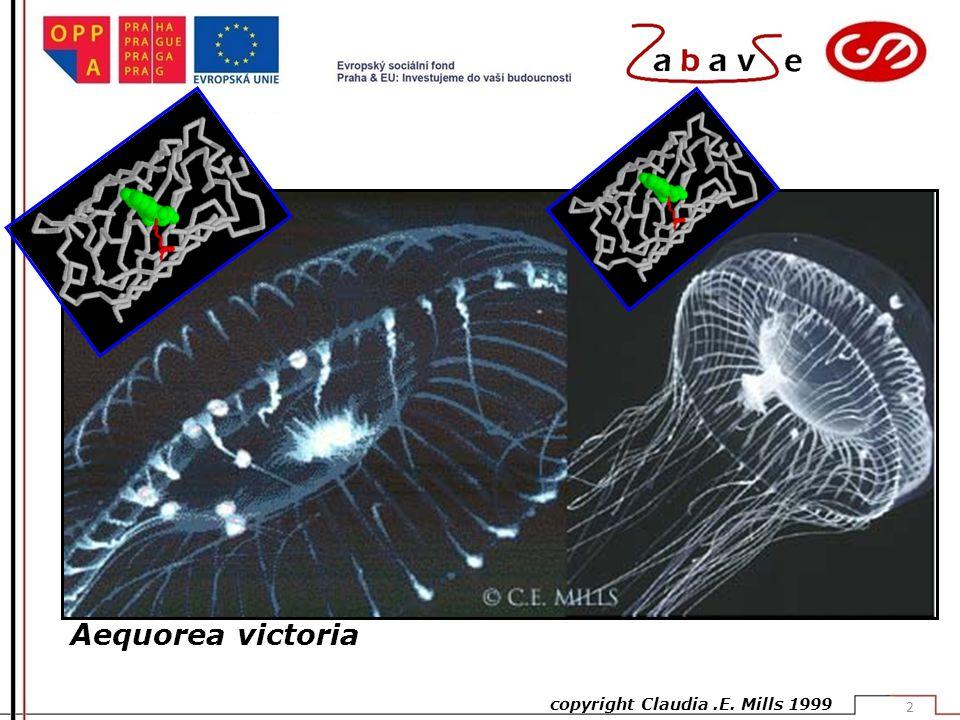 Aequorea victoria copyright Claudia.E. Mills 1999 2