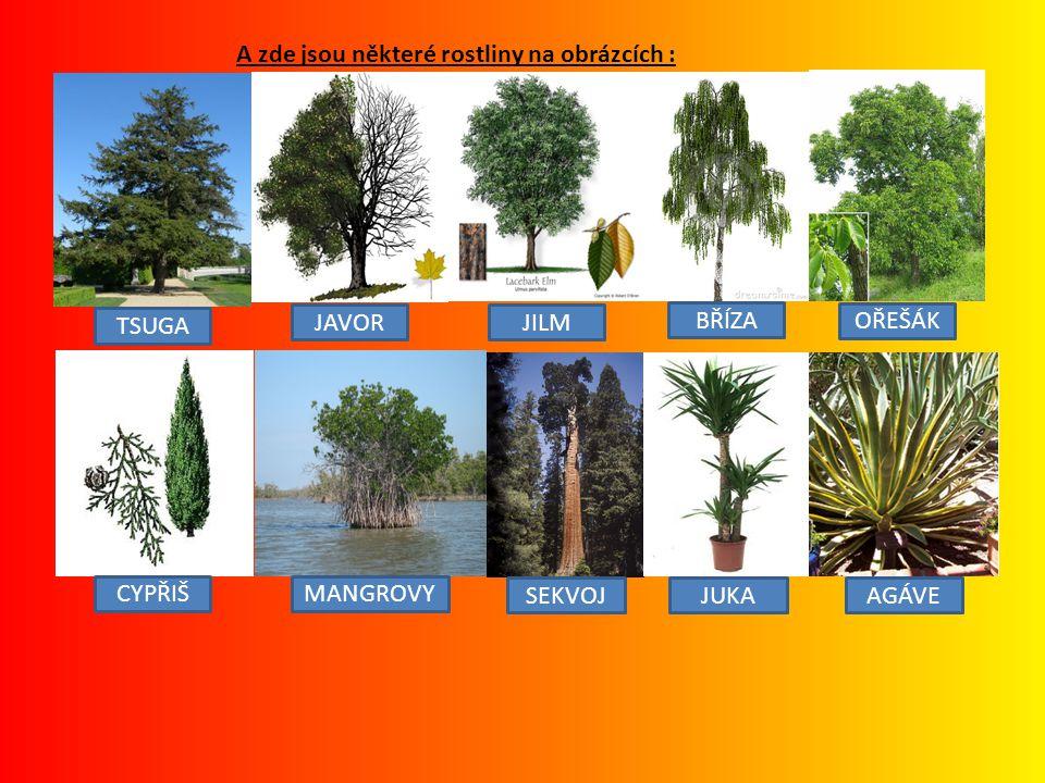 A zde jsou některé rostliny na obrázcích : TSUGA JAVOR JILM BŘÍZA OŘEŠÁK CYPŘIŠ MANGROVY SEKVOJ JUKA AGÁVE