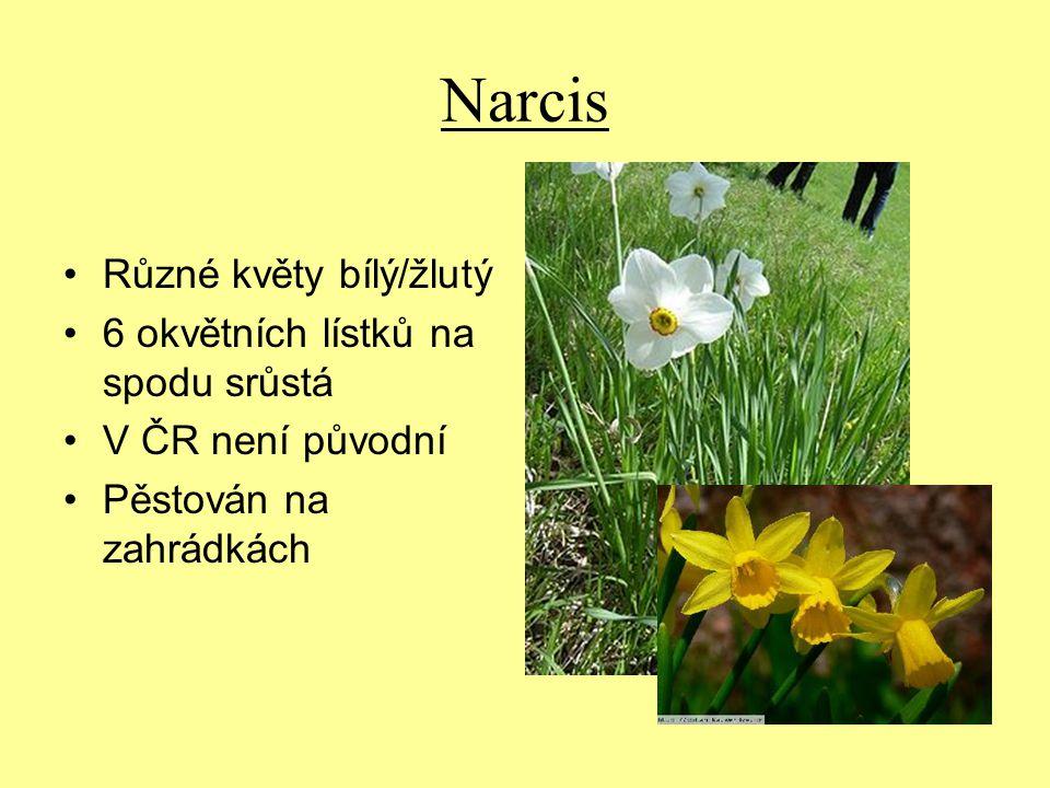 Narcis Různé květy bílý/žlutý 6 okvětních lístků na spodu srůstá V ČR není původní Pěstován na zahrádkách